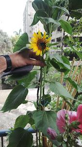 my sun flower plant
