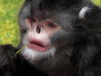 Mono Elvis, 208 nuevas especies descubiertas en el Gran Mekong, Asia - 2011