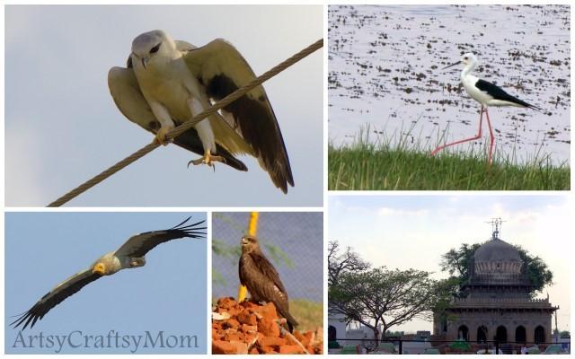 Sira birds