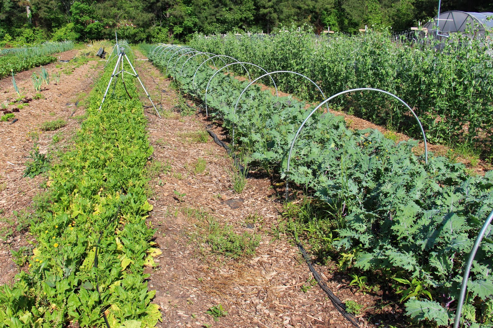 vegetable production Vegetable farming in israel the intensive israeli vegetable production has become extremely successful due to advanced methods of technology.