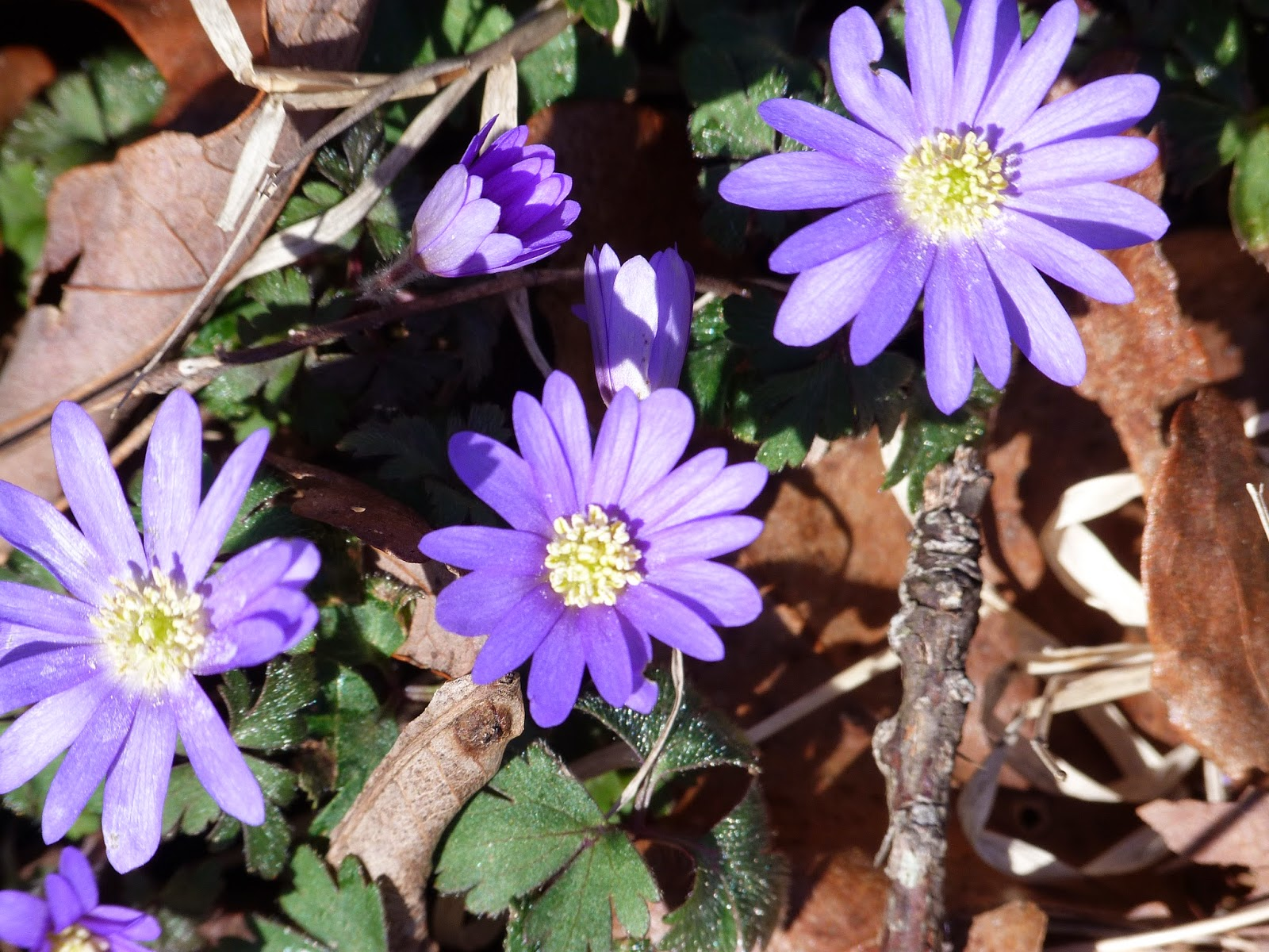 chmusings: Wild asters
