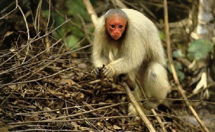 uacari branco macaco