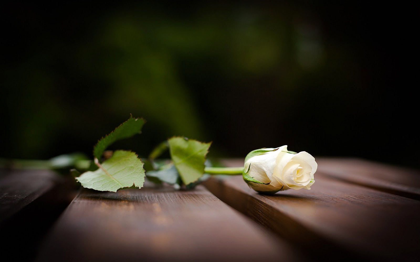 white rose backgrounds wallpapers - photo #33