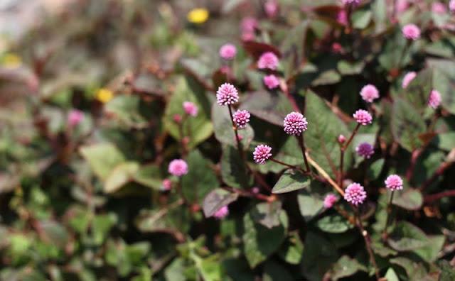 Persicaria Capitata Flowers Pictures