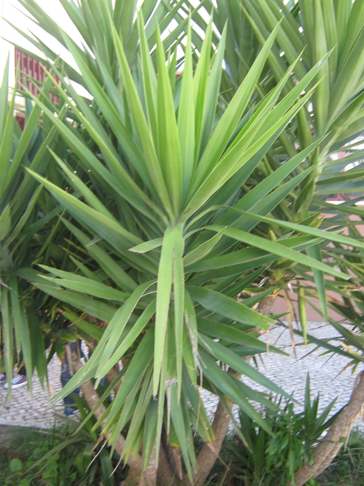 Plantas e flores yuca p de elefante for Yuca planta de exterior