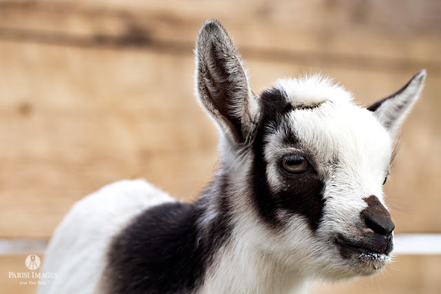 sarah parisi baby_kid_nubian_goat_kilpatrick_family_farm_new_york_photography this beautiful life