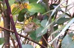 YELLOW BROWED WARBLER-HOUGHTON GREEN POND-14TH OCTOBER 2016