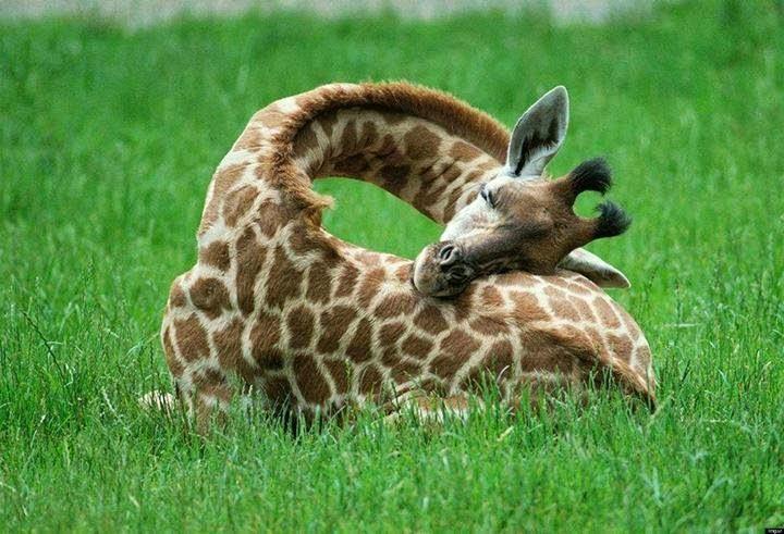صورة لزرافة نائمة على العشب