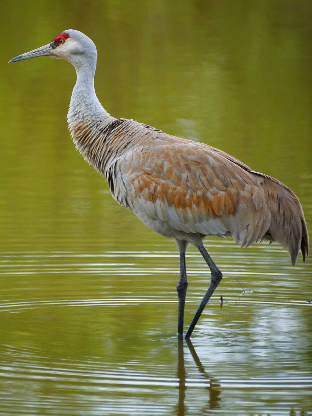 Эта грациозная птица живёт в Канаде от Великих озёр до западного побережья.