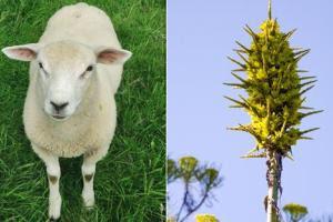 Βρετανία:Άνθισε φυτό που τρώει πρόβατα