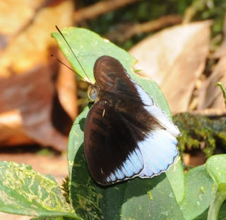 Forsfield's Baron (Euthalia lapis)