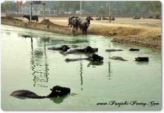 buffaloes in pond punjab