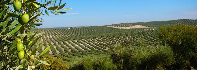 Hileras de olivos cual rebaño