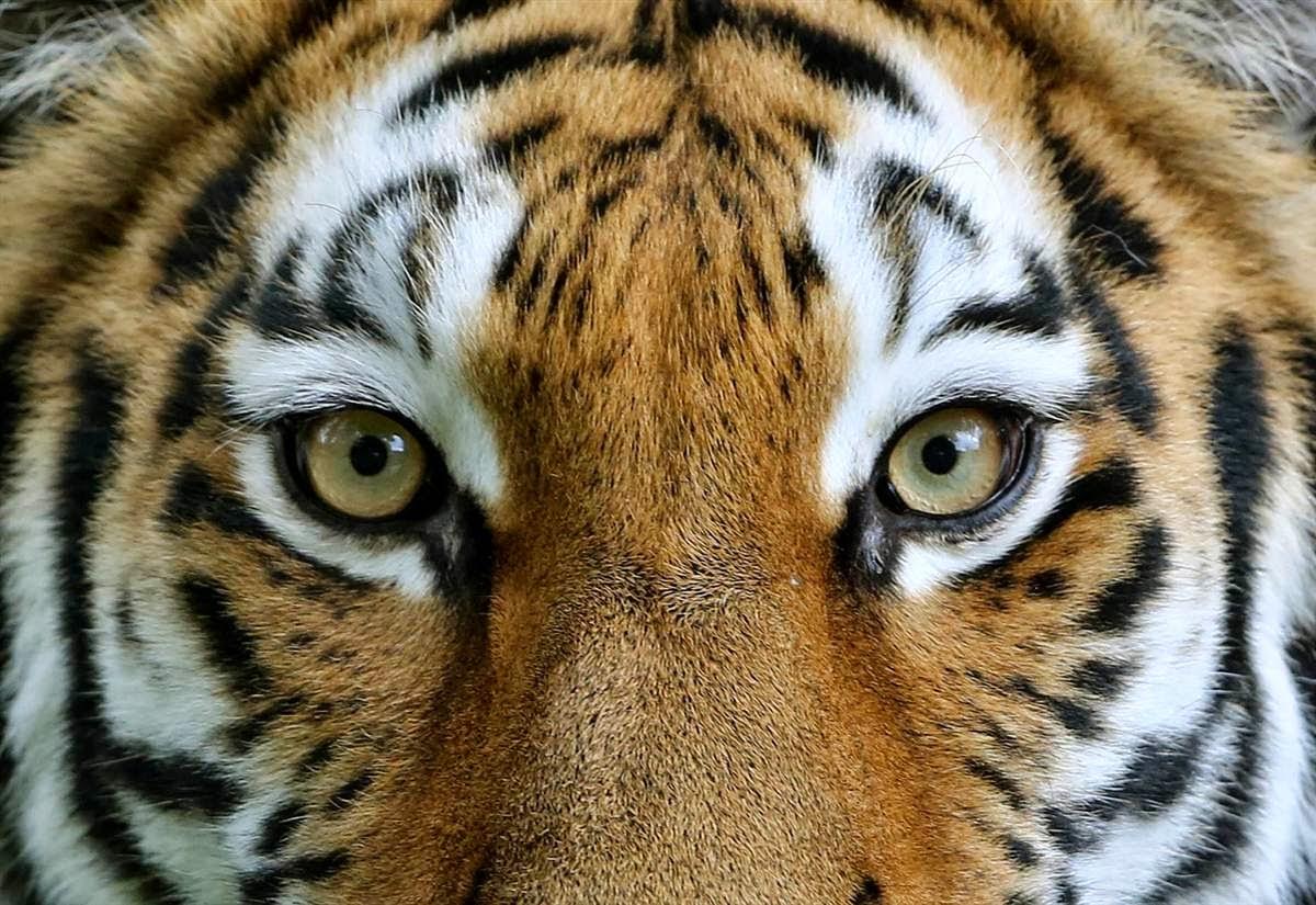 Siberian Tiger Eyes Siberian tiger eyesWhite Siberian Tiger Eyes