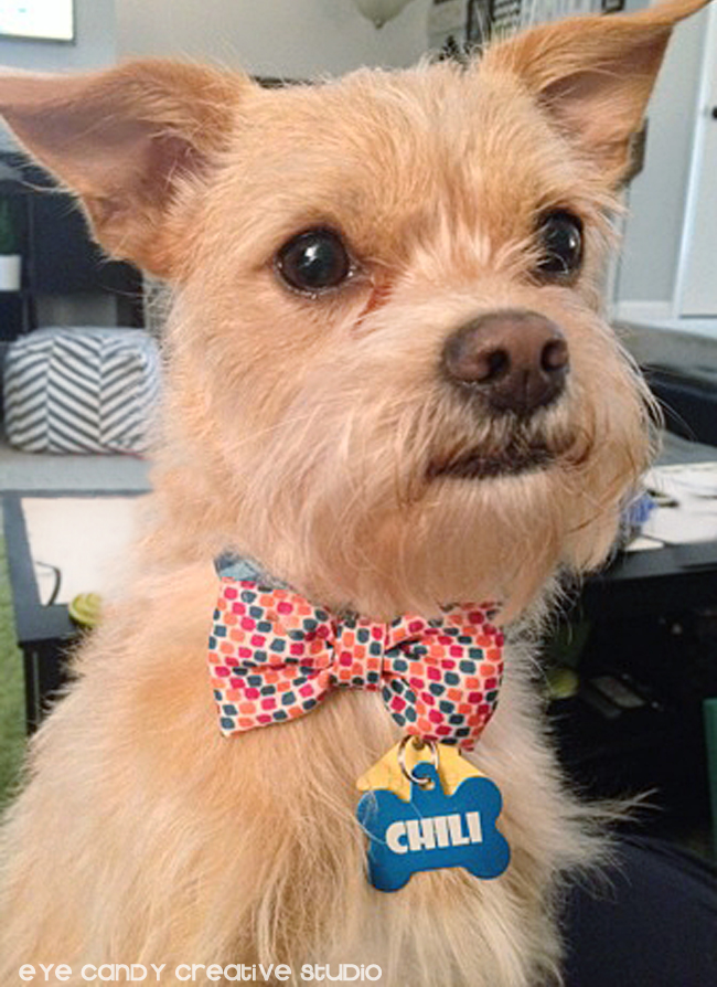 dog bow tie, Chili the pup, cute dog, small breed dog, Iams, Target