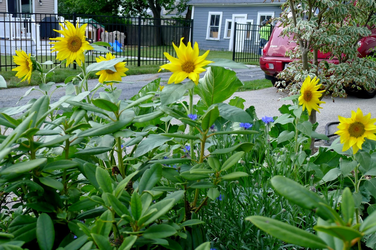Sunseed Sunflowers, edible landscaping