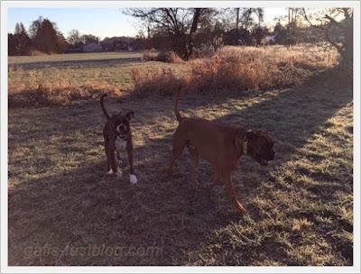 Geburtstagsspaziergang - Boxer - Amy und Elvis