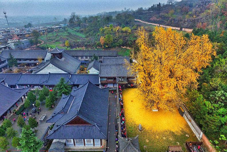Un antiguo arbol Ginkgo chino dejar caer un océano de hojas doradas