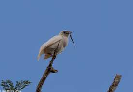 POSTER:Araponga da Amazônia.