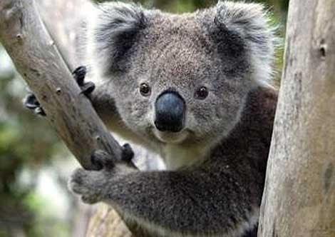 Koala Kok Kamu Lucu P Is Wavy