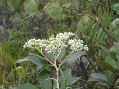 Indahnya Bunga Langka Edelweis di Puncak Gunung Burni Telong