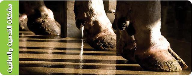 مزرعتي; الثروة الحيوانية; اقدام الماشية;