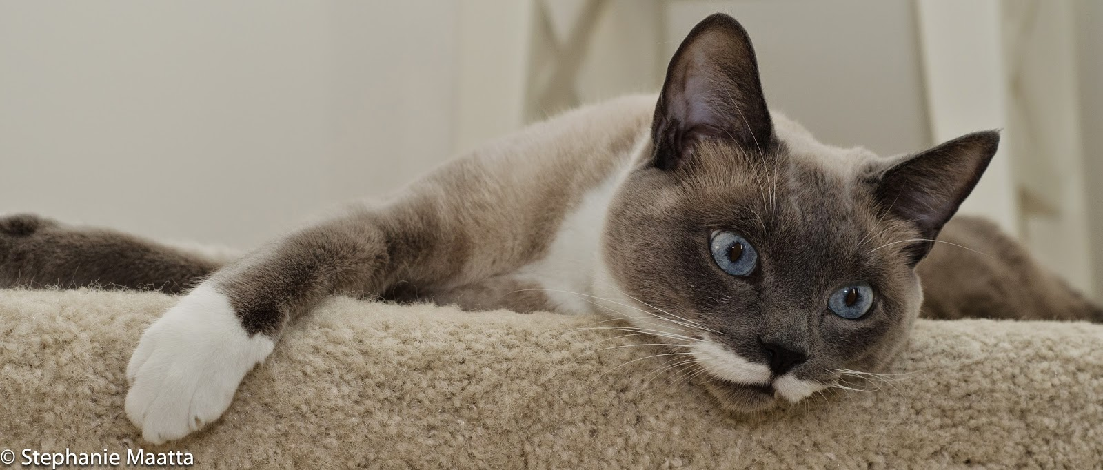 image of Siamese cat laying on stairs