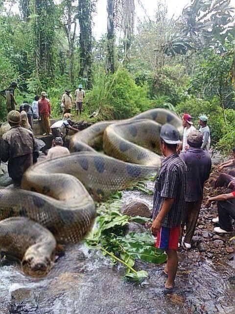 Biggest Anaconda