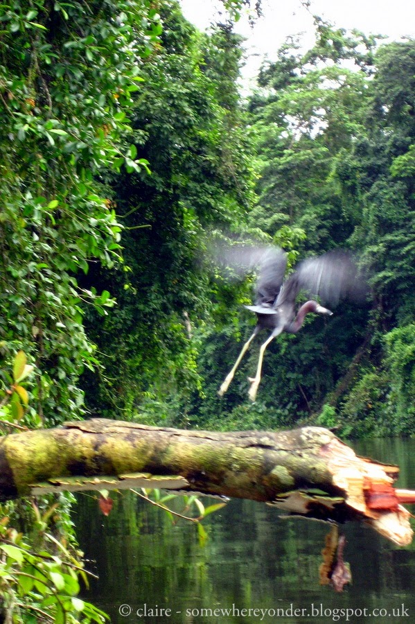 Heron in flight - Tortuguero National Park, Costa Rica