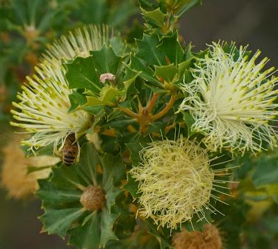Parrot Bush (Banksia (Dryandra) sessilis)