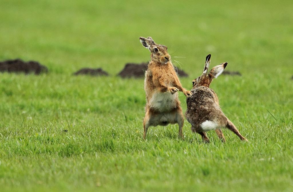 martin jump wildlife photographer  brown hares boxing
