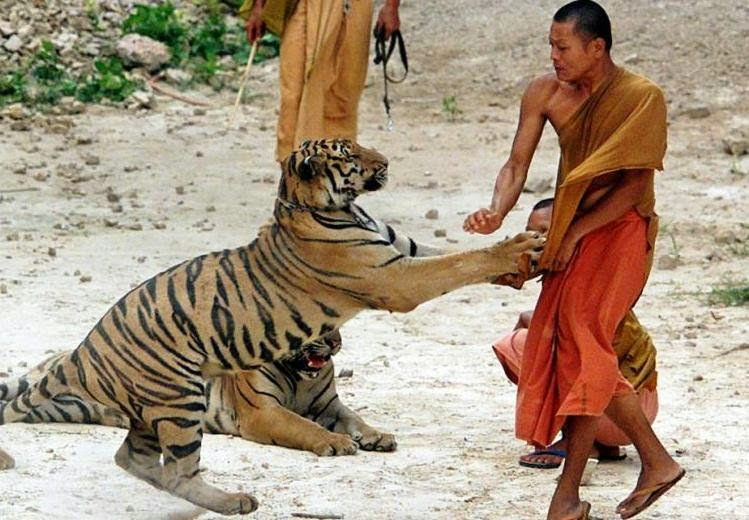 Tiger Attacking Human