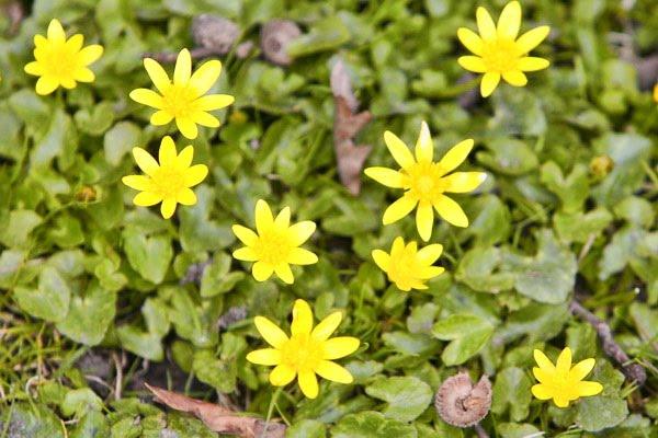 Celandine Flowers Leeds