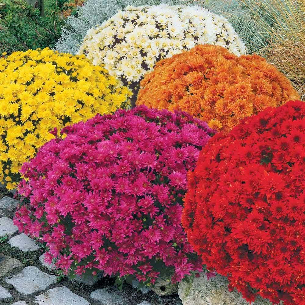 Giardinaggio laura ponte in valtellina crisantemi - Crisantemi in vaso ...