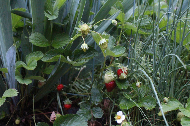 flower garden strawberry accent, little strawberries after rainstorm, maine gardening