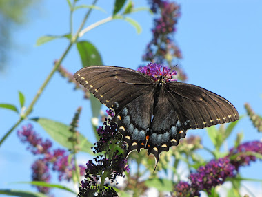 Black Tiger Swallowtail Butterfly on Butterfly Bush