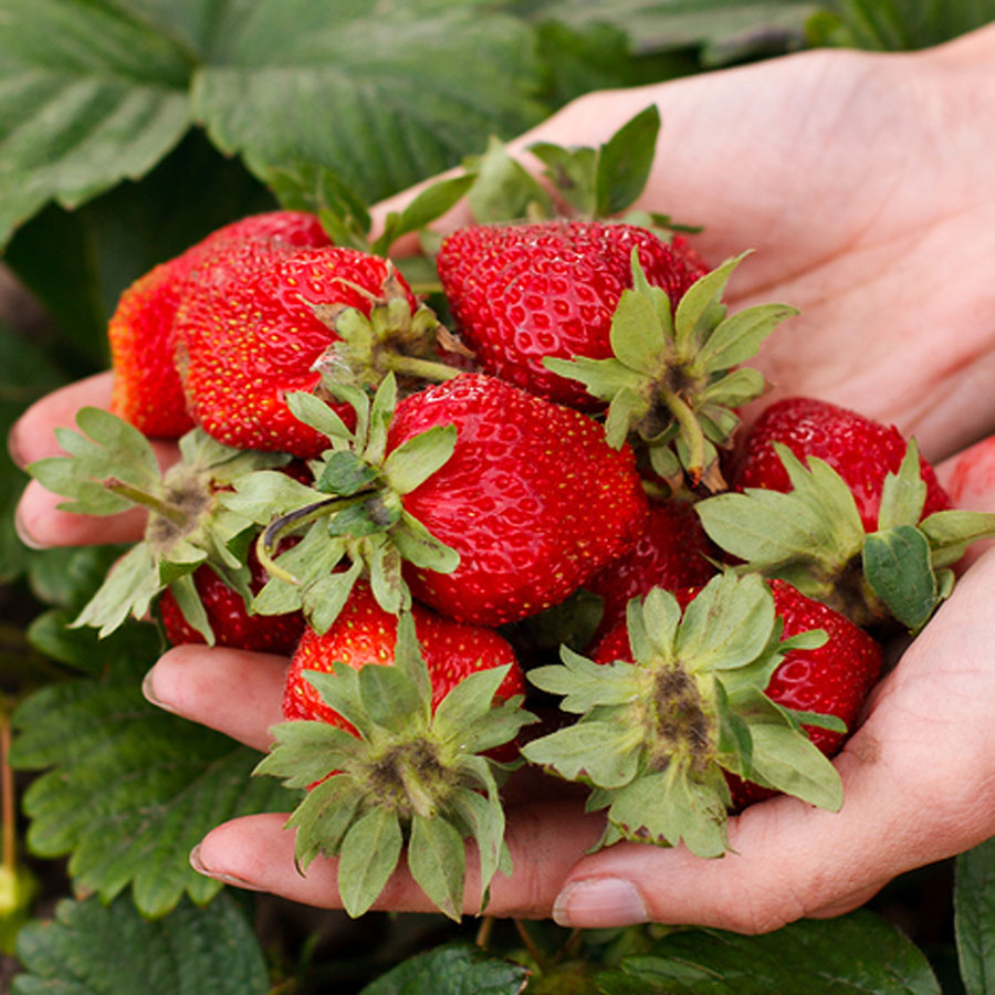 Covertress How To Plant Strawberry Plants For Large Juicy