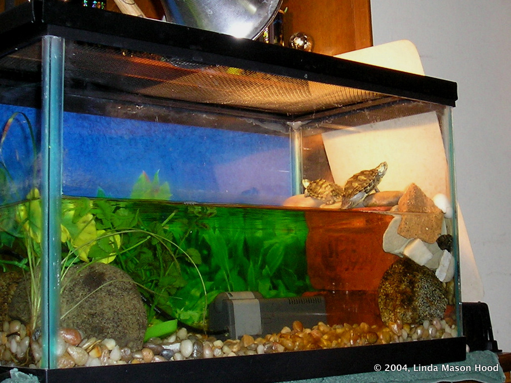 ... years later, Dinky is 6 inches long and lives in a 55 gallon aquarium