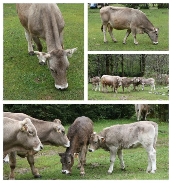 krowy w Pirenejach