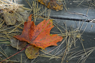 orange maple leaf laying on top of white pine needles