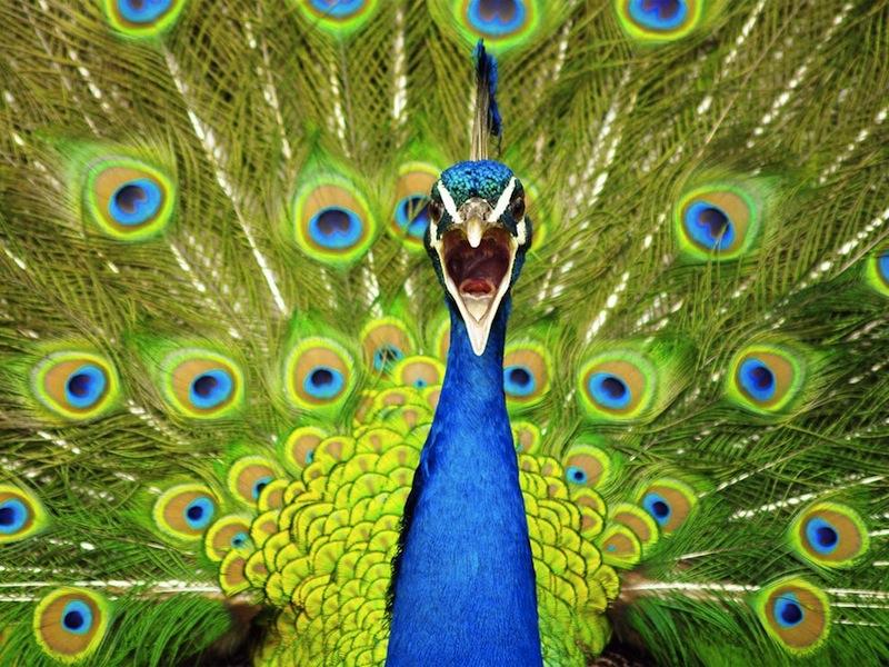 Biqfr - CSIC: Tinta electrónica con plumas de pavo real
