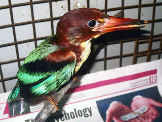 Henri the Kingfisher is all grown up