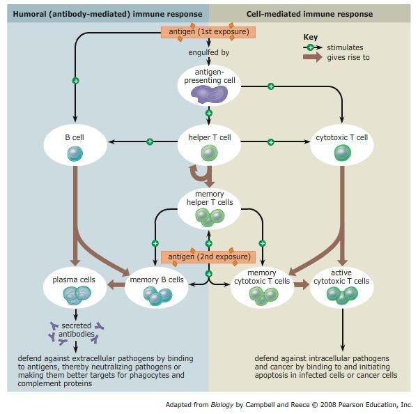 Immunology III. ADAPTIVE IMMUNE RESPONSE | The Amazing ...