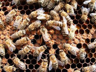 reproduccion abejas