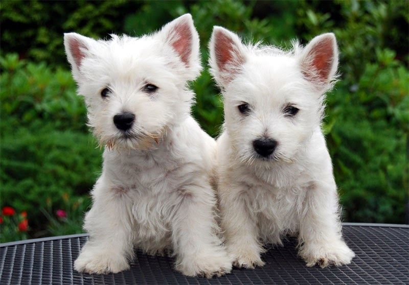Coming up blank westie puppies isle of man 2013 - Pictures of westie dogs ...