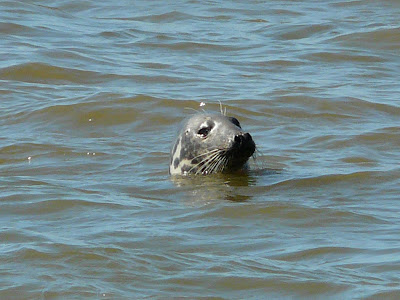 Grey Seal, Hilbre Island