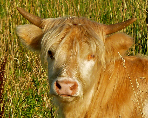 long haired Highland Cattle in a field in southern Wisconsin, cow grazing