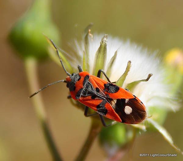 Gendarme beetle (Pyrrhocoris apterus)