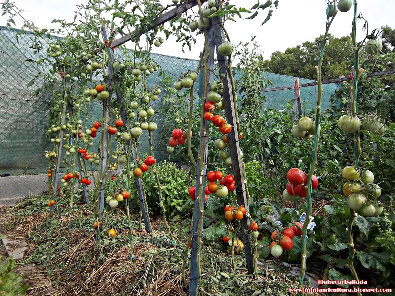 Tomates Cherrys.