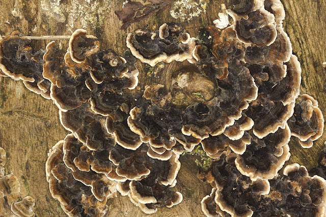 Turkeytail, Trametes versicolor. Orpington Field Club trip to Scadbury Park, 21 January 2012.